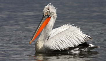 The pelican at the Persina island, Danube, is the winning project of Moto-Pfohe Conservation Environmental Grants